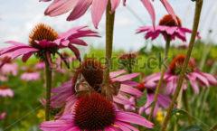 Foto 2 vlinders op margrieten van Frederique Richard voor Shutterstock